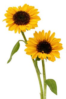 What is Counselling & Psychotherapy. Library Image: Sunflowers
